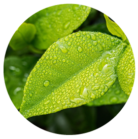 西瓜種植達人-傑哥,種植的甜美妙蘭西瓜成熟了!